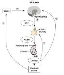 Bgd Lecture Endocrine Histology Embryology