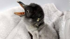 baby penguins. Exellent Penguins The Penguin Chick Born To Samesex Parents At Sydneyu002639s Sea And Baby Penguins CNN International
