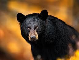 Image result for fun of art  black  bear