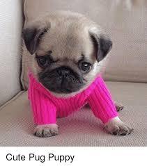 really cute pug puppies. Unique Pug Cute Memes And Puppies Cute Pug Puppy With Really Puppies U
