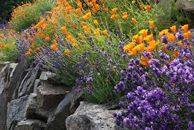 purple lavender and orange poppies growing in a rock garden have well draining soil