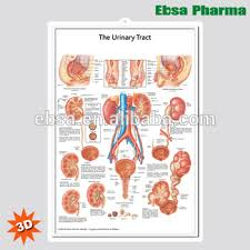The Educational Plastic 3d Medical Urinary Tract Anatomical Wall Charts Poster Buy 3d Poster Educational Wall Charts The Urinary Tract Anatomical