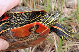 Western Painted Turtle Chrysemys Picta Bellii