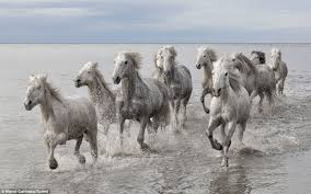 wild white horses running free. Beautiful Horses Wild Beauties The Wild Camargue Horses Galloped Through Water In The  Marshes Southern France For White Horses Running Free H