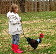 CDC Backyard Chickens U0026 Salmonella U0027Outbreaksu0027 A Backyard Chicken Backyard Chicken Blog