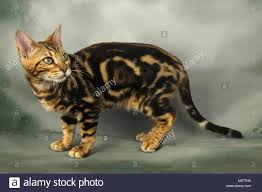 marble bengal cat.  Bengal Young Brown Marble Bengal Cat  Stock Image In Marble Bengal Cat U