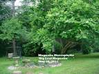 large-leaved cucumber tree