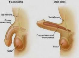 Human penis and balls