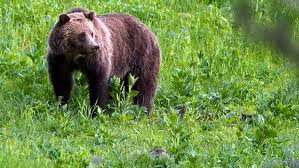 grizzly bear at Draney Inlest, BC