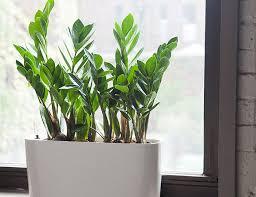 zz plant gear patrol best urban indoor