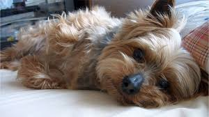 If a showy long hair yorkie look is what you're after you can definitely do that but your everyday owner usually keeps their yorkie's hair at a short to medium. Top 5 Yorkie Haircut Styles For 2019 The Dog People By Rover Com