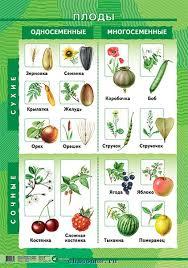 Классификация плодов урок Биология Бактерии Грибы Растения  плоды 2 png