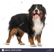 white bernese mountain dog. Exellent Mountain Bernese Mountain Dog 3 Years Old Standing In Front Of White Background   Stock To White Dog P