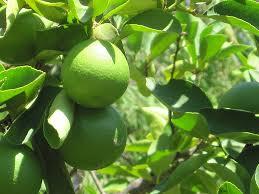 persian lime citrus x latifolia at new garden landscaping nursery