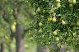 green apple fruit tree. pear trees green apple fruit tree