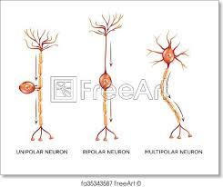 Free Art Print Of Neuron Types Neuron Types Nerve Cells That Is