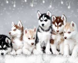 baby husky wallpaper. Wonderful Wallpaper 1280x1024 Snow Dogs  Husky Wallpaper On Baby U