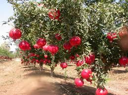 Pomegranate Tree From Iran Thrives In The California Sun  LatimesIranian Fruit Trees