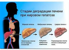 Печень Системы организма гистология препарат по гистологии  Печень Системы организма гистология препарат по гистологии печень человека