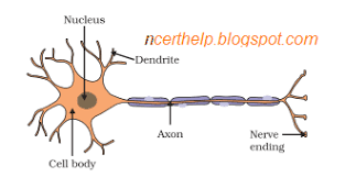 Draw The Structure Of A Neuron And Explain Its Function