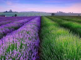 40+] Lavender Fields Desktop Wallpaper ...