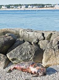 Dead Seal Found On West Falmouth Beach Falmouth News