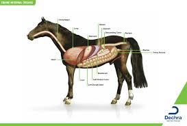 Downloads Anatomy Charts Dechra Veterinary Products