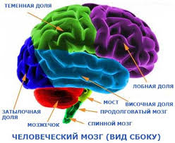 Как устроен человеческий мозг Сто тысяч почему Почемучка Мозг человека вид сбоку