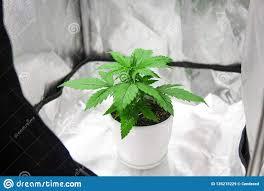 Indoor Grow Box With Lights Marijuana In Grow Box Tent Growing Marijuana At Home Indoor