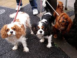 Image result for 3 cute little dogs walking