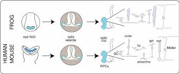 schematic of eye development in frog mouse and human the eye develops from cells