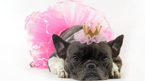 dog wearing tutu diy dog clothes and coats you should make