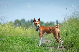 Basenji Dog Walking In The Park. Summer ...
