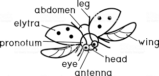 Externe Structuur Van Insecten Kleurplaat Delen Van Het Lichaam Van
