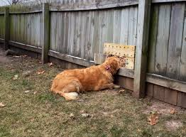 fence ideas for dogs.  Ideas My Dog Waiting For Her Friends Thanks To Custom Fence On Fence Ideas For Dogs S