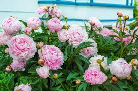 there s just something about peonies
