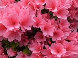 Arctostaphylos Baby Bear Manzanita Bush Manzanita By The Baby BearShrub With Pink Flowers