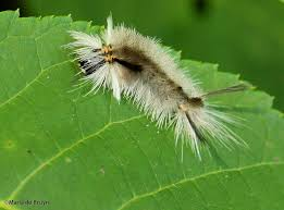 Light Yellow Fuzzy Caterpillar Pyrrharctia Isabella My Beautiful World