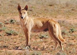 Protect Beloved Totem The Dingo