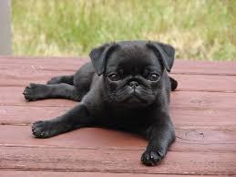 black pug puppies. Wonderful Black Pug Dog Breeds Animal Messages Totems Spiritanimalscom Pug Puppy To Black Puppies
