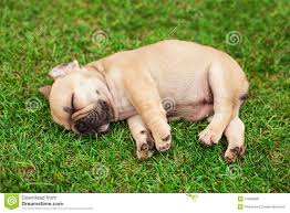 bulldog puppies sleeping. Fine Sleeping Little Sleeping French Bulldog Puppy With Bulldog Puppies Sleeping G