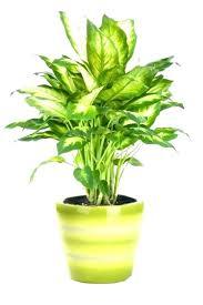 indoor tree low light indoor trees low light lighting best of plants luxury that need no indoor tree low light