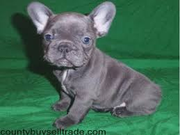 french bulldog puppies for charlotte nc breed dogs picture french bulldog puppies for in
