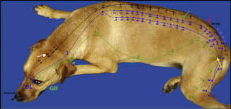 Canine Acupuncture Meridian Chart Comparison Of Point Placement By Veterinary Professionals