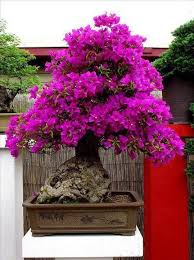 buy bonsai trees buy unique old bonsai trees miami bonsai trees bonsai flower bonsai i love bonsai bougainvillea bought bonsai tree