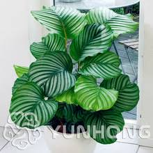 cheap office plants. 100 pcs rare calathea seeds air freshening plants high humidity easy to grow office desk bonsai for flower pot planters cheap n