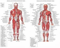 muscle diagram human body co muscle archives page 16 of 36 human anatomy chart muscles