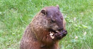 getting rid of groundhogs mothballs. Fine Groundhogs Pest Of The Month Groundhogs In Getting Rid Of Mothballs