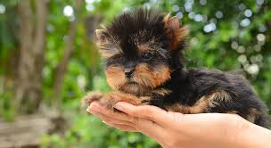 teacup puppy yorkie. Wonderful Puppy Teacup Yorkie Puppies Are Incredibly Small This Fits In The  Palm Of Your Intended Puppy