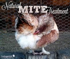 Poultry Mites - Natural Prevention and Treatment for your Chickens ...